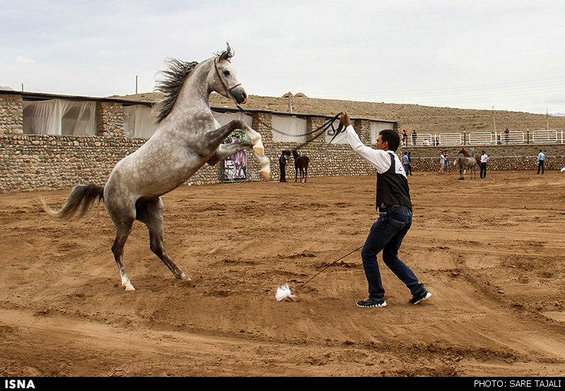 جشنواره زیبایی اسب اصیل عرب - کرمان