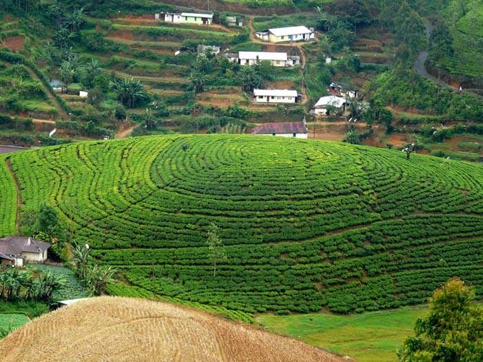 مزارع زیبای چای لاهیجان