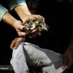 فصل جیرجیرک خوران در کرمان!/تصاویر