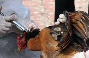 مشاهده یک مورد مثبت آنفولانزای مرغی در بناب/احتمال شیوع آنفولانزای مرغی در استان آذربایجانشرقی
