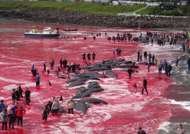 جاری شدن دریای خون در پی کشتار نهنگهای شمال اروپا + عکس