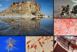 آرتمیای دریاچه ارومیه شناسنامه دار می شود/ هر کیلو آرتمیا در بازارهای جهانی ۲۰۰ دلار است