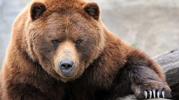 حمله ۳ خرس به شهروند میانه ای