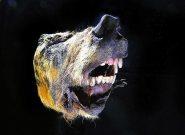 کشف سر ۴۰ هزار ساله یک گرگ+تصاویر