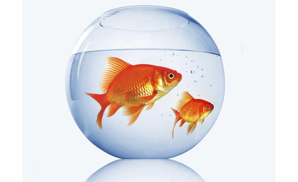 هیچ بیماری مشترکی بین ماهی قرمزهای امسال با انسان وجود ندارد