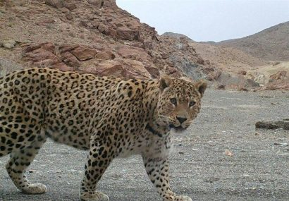 تثبیت جمعیت پلنگ ایرانی در آذربایجان