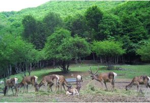 طرح احیای نسل مارال در جنگلهای ارسباران در حال انجام است